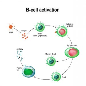blog__inline--silenced-b-cells-loudly-proclaim-case-for-creator