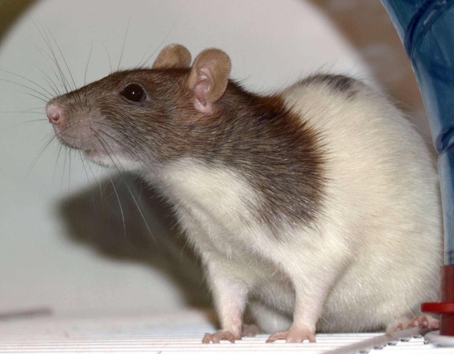 Rats' Hide-and-Seek Game Affirms Biblical Creation