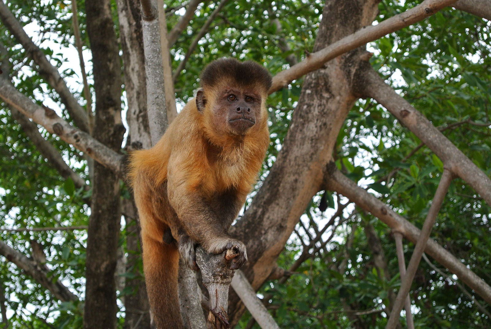Science News Flash: Stone Tool Use by Capuchin Monkeys Challenges Human Evolution