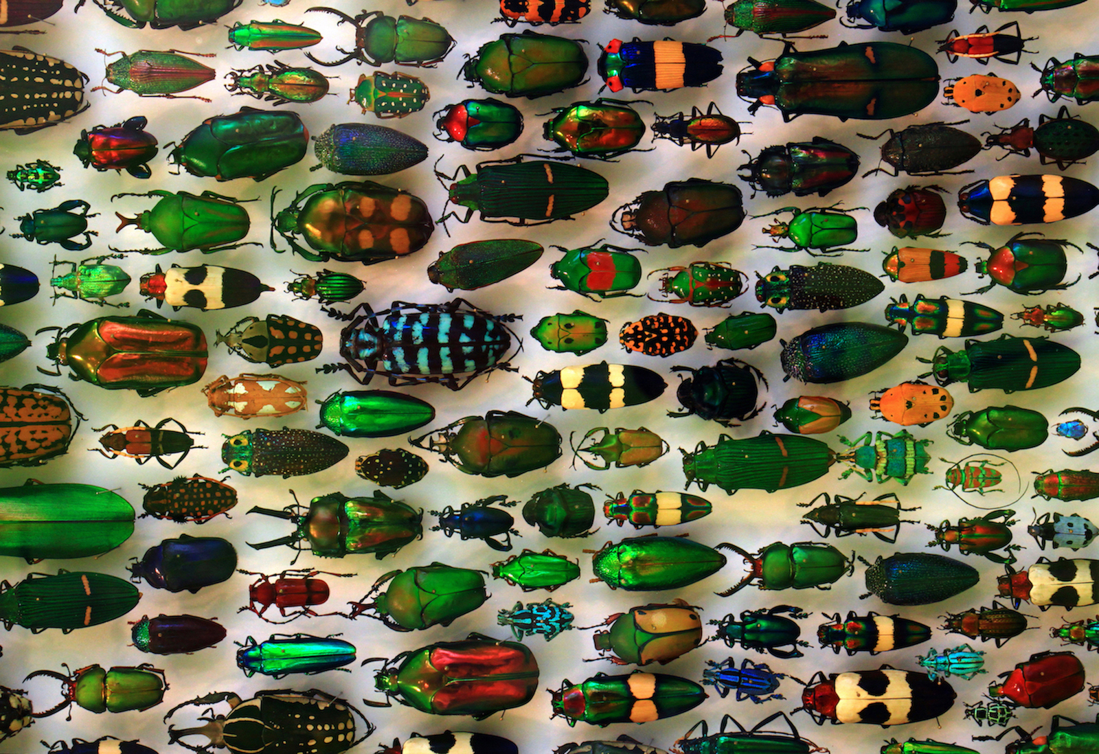 Why So Many Different Kinds of Beetles?