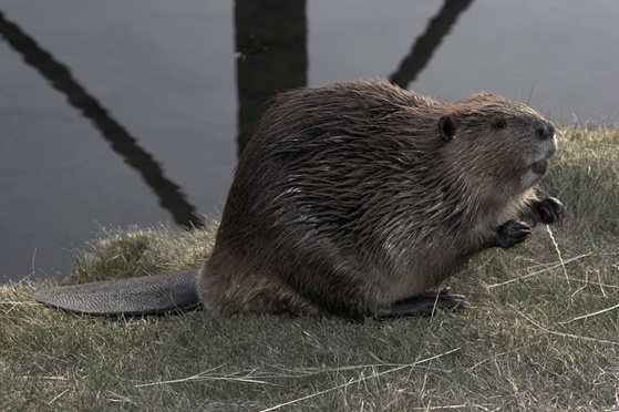 Benefits from Beavers
