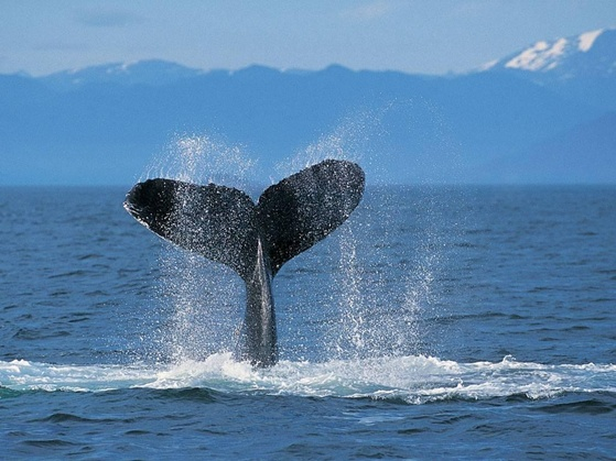 Humpback Whale Fins: Fresh Evidence for Design