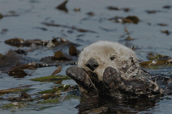 Sea Otters as Global Warming Fighters