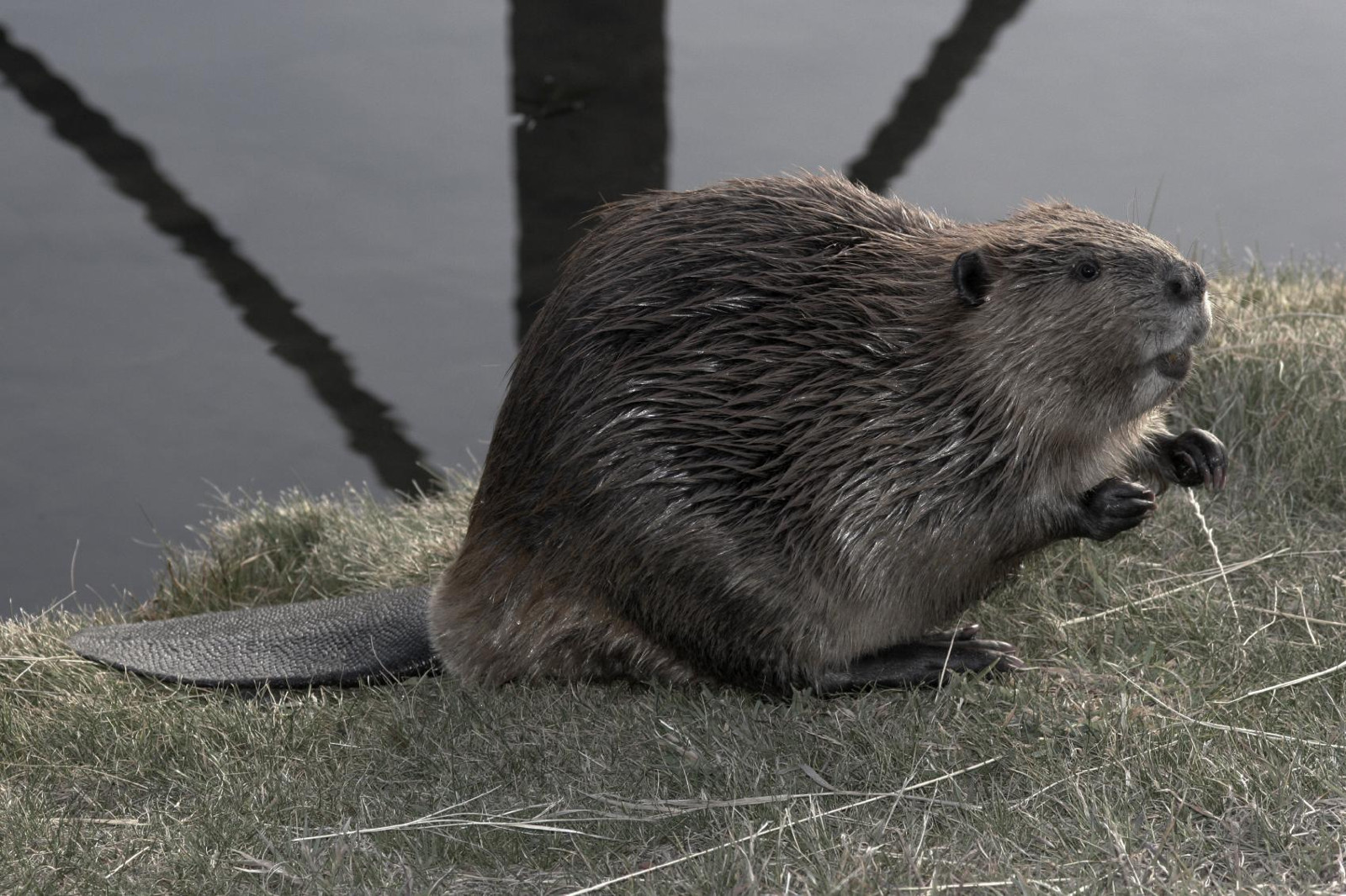Podcast Highlight: Busy as a Beaver
