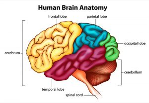 blog__inline--differences-in-human-and-neanderthal-brains