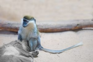 blog__inline--primate-thanatology-1
