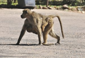blog__inline--primate-thanatology-2