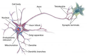 blog__inline--the-multiplexed-design-of-neurons