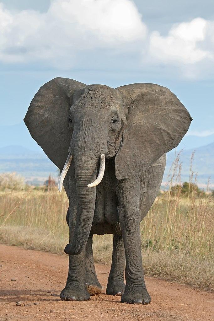 Large male elephant
