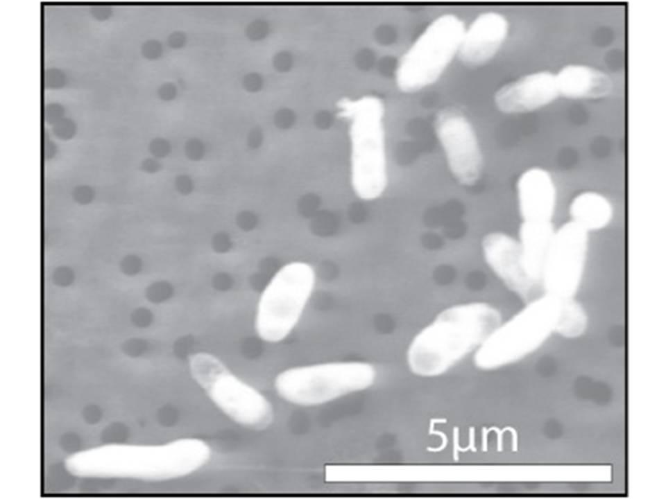 Halomonadaceae